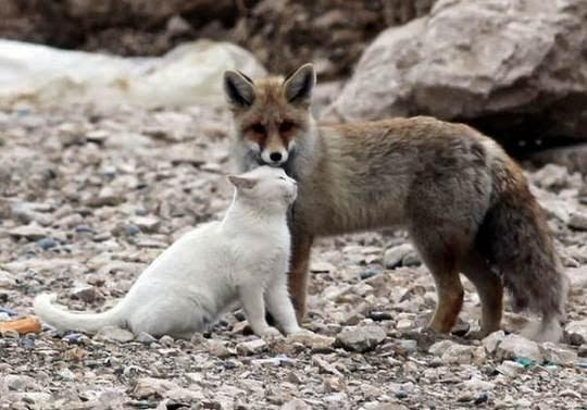 cat fox friendship