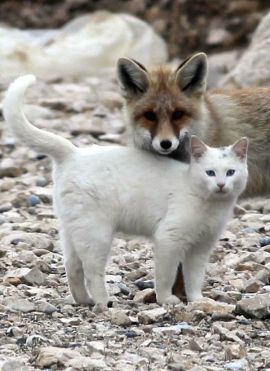 lake van cat